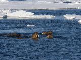 Walrus, in Water, Spitsbergen, Svalbard, Norway, Scandinavia, Europe Photographic Print by Milse Thorsten