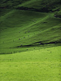 Sheep in Pasture, Hawkes Bay Region, North Island, New Zealand, Pacific Photographic Print by Smith Don