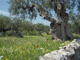 Olive Trees, Puglia, Italy, Europe Photographic Print by Terry Sheila