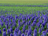 Field of Blue Hyacinths at Lisse in the Netherlands, Europe Photographic Print by Murray Louise