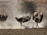 Ostrich, Males, Kgalagadi Transfrontier Park, South Africa, Africa Photographic Print by Toon Ann & Steve
