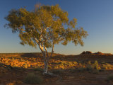 Ghost Gum Tree, Watarrka National Park, Northern Territory, Australia, Pacific Photographic Print by Schlenker Jochen
