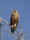 Tawny Eagle, Kgalagadi Transfrontier Park, Northern Cape, South Africa, Africa Photographic Print by Toon Ann & Steve