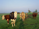 Cows on a Polder in the Early Morning, with a Windmill in the Background, in Holland, Europe Photographic Print by Groenendijk Peter