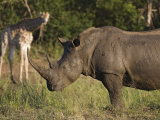 White Rhino, Hluhluwe Umfolozi Park, Kwazulu Natal, South Africa, Africa Photographic Print by Toon Ann & Steve