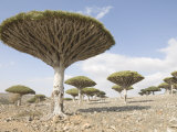Dragon's Blood Tree, Endemic to Island, Diksam Plateau, Central Socotra Island, Yemen Photographic Print by Waltham Tony