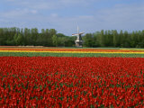 Field of Tulips with a Windmill in the Background, Near Amsterdam, Holland, Europe Photographic Print