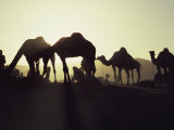 Camel Fair, Pushkar, Rajasthan State, India Photographic Print by Wilson John Henry Claude
