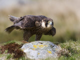 Immature Peregrine Falcon, Captive, United Kingdom, Europe Photographic Print by Toon Ann & Steve