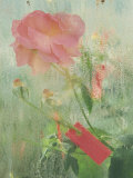 Pale Salmon Pink Rose Against a Window Pane with Heavy Condensation Photographic Print by Woolfitt Adam