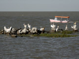 Pelicans, Lake Tana, Ethiopia, Africa Photographic Print by Groenendijk Peter
