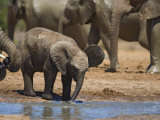African Elephant Calf by Water, Addo Elephant National Park, South Africa Photographic Print by Toon Ann & Steve