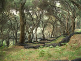 Grove of Olive Trees at Paroa, Greece, Europe Photographic Print by Wilson Loraine