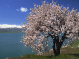 Tree in Blossom, Akdamar Island, Lake Van, Anatolia, Turkey Minor, Eurasia Photographic Print by Woolfitt Adam