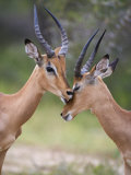 Impala, Males Allogrooming, Kruger National Park, Mpumalanga, South Africa Photographic Print by Toon Ann & Steve