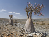 Bottle-Tree Endemic to Island, Diksam Plateau, Central Socotra Island, Yemen, Middle East Photographic Print by Waltham Tony