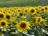 Sunflowers with Vines in Distance, Charente, France, Europe Photographic Print by Groenendijk Peter