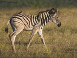 Burchell's Zebra Foal and Redbilled Oxpeckers, Hluhluwe Umfolozi Park, Kwazulu Natal, South Africa Photographic Print by Toon Ann & Steve
