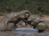 African Elephant Loxodonta Africana) in Water, Addo Elephant National Park, South Africa, Africa Photographic Print by Toon Ann & Steve