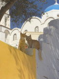 Cats in Akrotiri, Santorini, Cyclades, Greek Islands, Greece, Europe Photographic Print by Papadopoulos Sakis