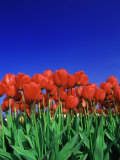 Tulip Field, Holland, Europe Photographic Print by Papadopoulos Sakis