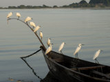 Egrets, Bugala Island, Lake Victoria, Uganda, East Africa, Africa Photographic Print by Groenendijk Peter