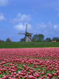 Field of Tulips in Front of a Windmill Near Amsterdam, Holland, Europe Photographic Print