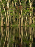 Reflections of Bullet Trees in the Water of New River at Orange Walk in Belize, Central America Photographic Print by Strachan James