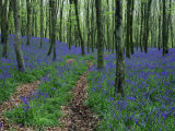 Deciduous Woodland with Bluebells in Spring, Near Beaminster, Dorset, England, United Kingdom Photographic Print by Edwardes Guy