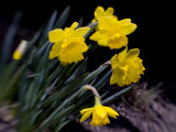 Daffodil in Bloom, New York, New York, USA Photographic Print by Paul Sutton