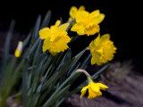 Paul Sutton - Daffodil in Bloom, New York, New York, USA - Fotografik Baskı