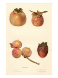 Varieties of Persimmon Prints