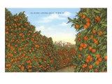 California Orange Grove in Winter Prints