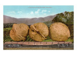 Giant Walnuts on Flatbed Print