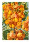 Apricots Print