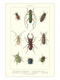 Various Kinds of Beetles Prints