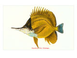 Le kikakapu, poisson hawaïen Affiches