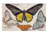 Varieties of Butterflies Posters
