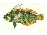 Hawaiian Fish, Novaculichtys Poster