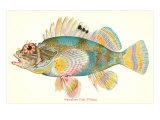 Hawaiian Fish, Pilikoa Print