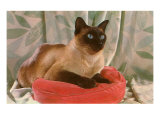 Siamese Cat on Pillow Prints