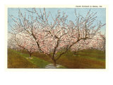 Peach Orchard, Perry, Georgia Kunstdrucke