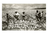 Harvesting Pineapples, Hawaii Poster