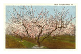 Peach Orchard, Perry, Georgia Posters