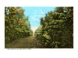 Tree Ferns on Volcano Road, Hawaii Print