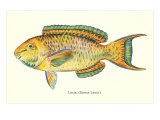 Hawaiian Fish, Lauia Prints