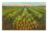 Pineapple Field, Hawaii Poster