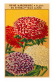 French Reine Marguerite Chrysanthemum Seed Packet Posters