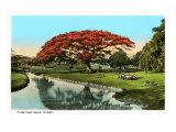 Poinciana Tree, Hawaii Art