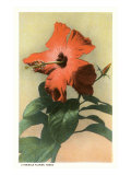 Hibiscus, Hawaii Prints